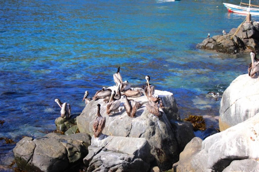 Свободные пеликаны на пляже Zapallar