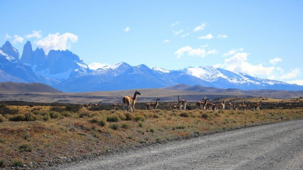 Стадо гуанако по пути к Торрес-дель-Пайне