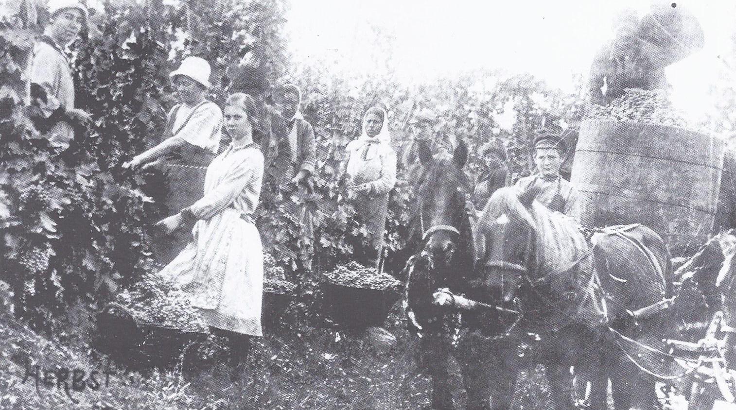 сбор урожая в еленендорфе 1920-1927 гг